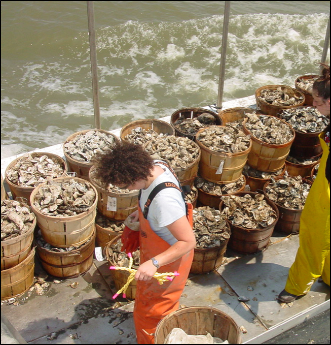 NSF EEID researchers collect oysters from the Delaware Bay fishery to test for disease. Credit: Kathryn Ashton-Alcox