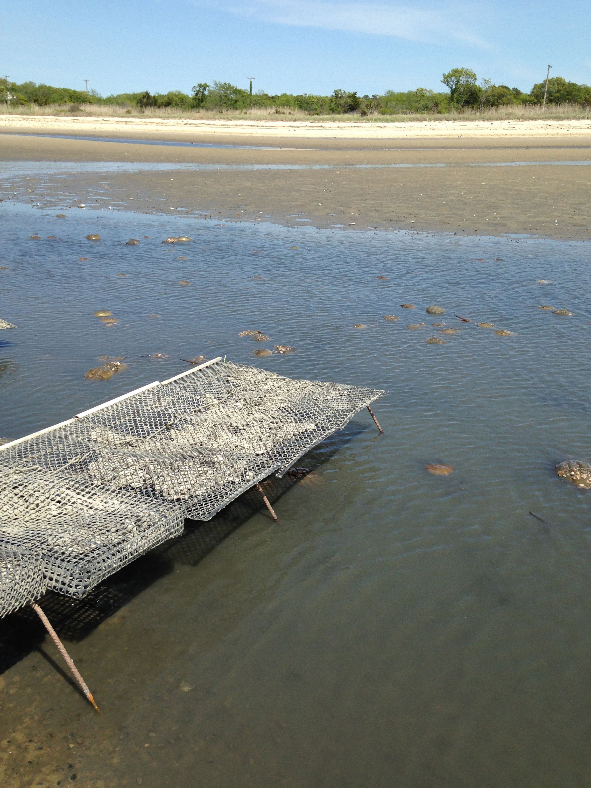 Crabs milling around oyster farm racks, with beach spawning habitat in the background