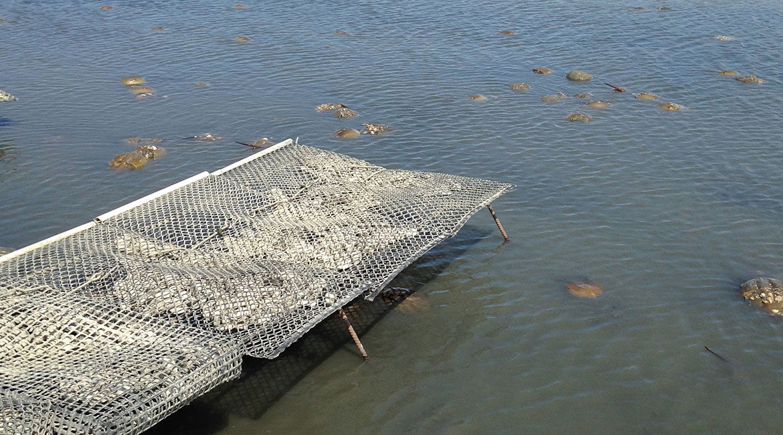 Horseshoe Crabs Farm