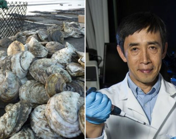 Triploid-Oyster-news